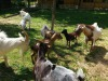 Sos fattoria Italia, persi 1,7 milioni di animali in 10 anni