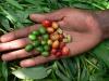 Semi di una delle più comuni varietà di caffè, lArabica (fonte: Aaron Davis, RBG Kew)