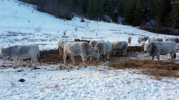Maltempo, mucche cappotti, neve in italia, Sicilia, Economia