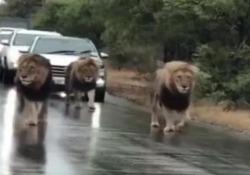 Gli animali hanno bloccato il traffico in Sudafrica