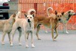 Due vitelli sbranati dai cani a Modica, controlli in un'azienda