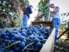 Anno nero per il vino siciliano, prezzi dimezzati in un anno