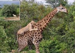 Le immagini riprese in una riserva naturale in Sudafrica