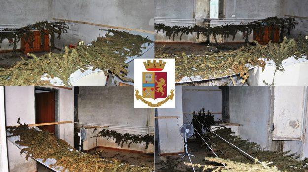 marijuana niscemi, Caltanissetta, Cronaca