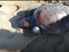 Tartaruga ferita in spiaggia a Trapani, i carabinieri la salvano