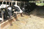 Blue tongue, i bovini in quarantena a Ragusa