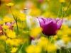 Tulipani in fiore e villa diventa quadro