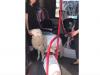 A spasso con una pecora e un maiale al guinzaglio: il video girato a Roma