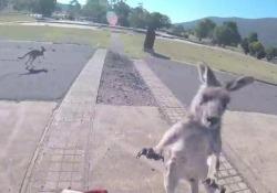 Il pilota di parapendio attaccato dal canguro E' successo sulla pista di Canberra: l'animale  ha desistito - CorriereTV