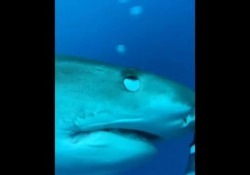 Il sub accarezza lo squalo come se fosse un gattino Un incontro emozionante è avvenuta al largo della Polinesia francese - Corriere Tv