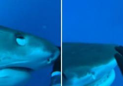 L'incontro che non ti aspetti: il sub accarezza lo squalo come se fosse un gattino La scena è avvenuta al largo della Polinesia francese - Corriere Tv