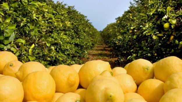 arance, giappone, LIMONI, pomodorini, Sicilia, Economia