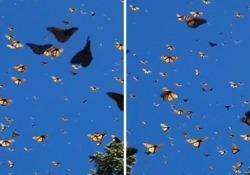 Migliaia di farfalle riempiono il cielo durante la migrazione di massa Il video in slow motion (che mostra tutta la bellezza della migrazione) arriva dalla California - CorriereTV