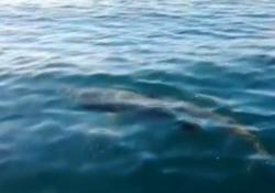 Sardegna, avvistato uno squalo elefante: specie marina protetta da salvaguardare Il video dell'avvistamento al largo della baia di Sant'Anna - Agenzia Vista/Alexander Jakhnagiev
