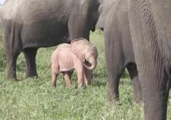 Sudafrica: avvistato un raro (e dolcissimo) elefantino «rosa» Il piccolo filmato nella riserva Mala-Mala nel Kruger National Park - CorriereTV