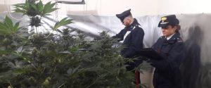 Scoperta a Mondello una piantagione indoor di marijuana, arrestato un palermitano