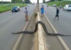 Brasile: un anaconda gigante paralizza il traffico verso la città Macchine in fila e conducenti sorpresi su una delle strade principali che portano alla città brasiliana di Porto Velho - CorriereTV