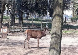 Dalle montagne bergamasche al parco giochi in Brianza: il cervo in fuga muore dopo la cattura Polemiche sui social per la cattura. L'Enpa: «Non deve accadere mai più» - Corriere Tv