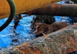 Il cane salvato in mare dagli operai di una piattaforma petrolifera (a 220 km dalla costa) «Non si sa come ci sia arrivato, è apparso dal nulla» - CorriereTV
