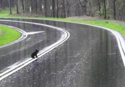 Mamma orsa incoraggia i suoi cuccioli (spaventati) ad attraversare la strada La scena nel parco nazionale delle Great Smoky Mountains, negli Usa - CorriereTV