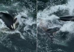 Natura spietata: il branco di orche attacca una balena grigia e il suo cucciolo in mare aperto Il feroce attacco filmato vicino alla baia di Monterey - CorriereTV