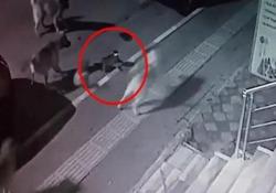 Non nel mio quartiere! Il gatto senza paura scaccia il branco di cani randagi La curiosa scena catturata da una telecamera di sicurezza su una strada in Turchia - CorriereTV