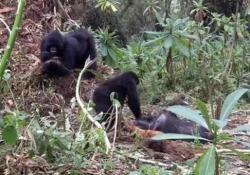 Un giovane gorilla maschio accanto al cadavere della madre Nel Parco dei vulcani in Ruanda - Corriere Tv