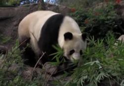 Usa, i panda giganti dello zoo tornano in Cina: campane per salutarli Erano a San Diego per ragioni di ricerca - LaPresse