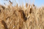Università di Catania, nasce il primo pane di grano duro arricchito con fibre di agrumi