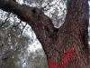 Xylella: Unaprol, rischio diffusione in tutto il Mezzogiorno