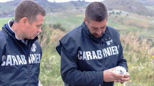 bracconaggio, falco pellegrino, specie protetta, Sicilia, Cronaca