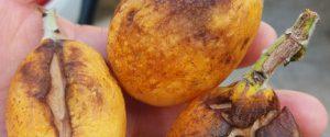 Primavera pazza, torna il maltempo: addio a 1 frutto su 4, a rischio le nespole siciliane
