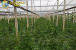 Scoperta una serra con diecimila piante di cannabis a Gela: arrestato 61enne di Vittoria