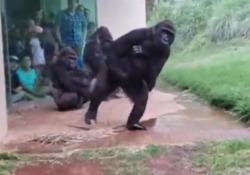Anche i gorilla odiano la pioggia: la loro reazione al diluvio è «umana»   I primati dello zoo di Riverbanks, Carolina del Sud, filmati mentre fuggono e si riparano - Corriere Tv
