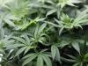 Marsala, scoperte in una serra 20 piante di cannabis