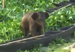 India, l'elefantino si perde nel lago: salvato dai forestali È successo nel distretto di Kamrup, nel nord est del Paese - CorriereTV