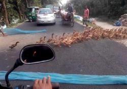 Provate a contarle: migliaia di anatre attraversano la strada in Bangladesh Non avete mai visto così tante anatre tutte insieme - CorriereTV