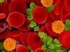Cellule del sangue (fonte: ZEISS Microscopy)