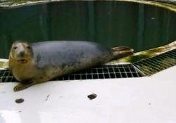 La foca canterina: «Zola» intona il brano per bambini Gli scienziati scozzesi hanno insegnato all'animale la famosa ninna nanna «Twinkle, Twinkle, Little Star» - CorriereTV