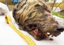 Siberia, trovata la testa di un lupo dell'era glaciale In Russia è stata trovata la testa di un esemplare del Pleistocene - CorriereTV