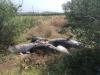 Dieci tonni abbandonati in una strada di campagna nel Catanese: le foto