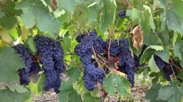 cia sicilia, uva, Vino, Sicilia, Economia