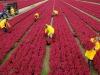 Piante a foglie rosse più resistenti stress di quelle verdi