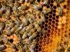 Caldo: api stressate non volano più, -41% miele