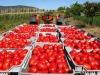 Imprese: start-up Goodland lancia pomodoro contro caporalato