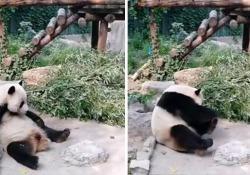 Cina: turisti lanciano pietre al panda perché seccati che stia dormendo Il video di due turisti che lanciano sassi contro un panda gigante nello zoo di Pechino è diventato virale - CorriereTV