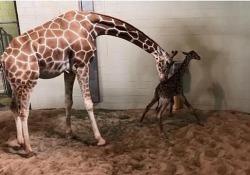 Colorado, i primi passi di un cucciolo di giraffa È nato allo zoo Cheyenne Mountain ed è già alto due metri - Ansa