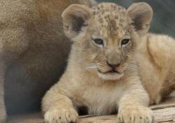 Divertimento e relax per due rari cuccioli di leone in Repubblica Ceca Si stima che ci siano meno di 100 esemplari di questa specie in cattività - Ansa