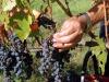 In Italia clima pesa in vigna, ma tipicità è salva