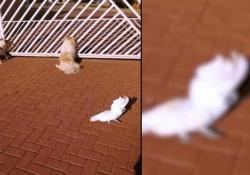 Il pappagallo che abbaia con i cani È cresciuto con i cani e, ovviamente, ha iniziato ad imitarli - CorriereTV